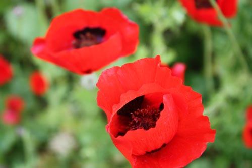 087_poppies03