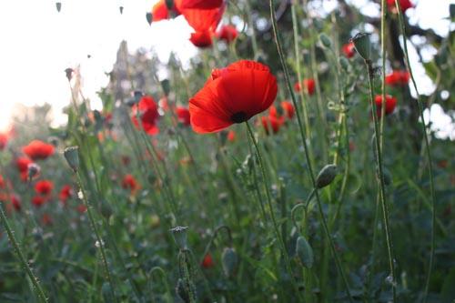 087_poppies01