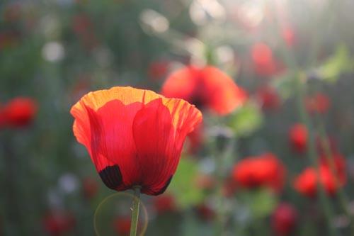 087_poppies02