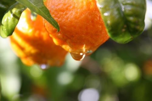 Oranges01